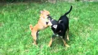 German Shepherd/lab Mix Puppy
