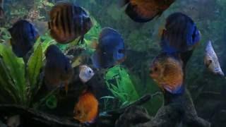 Diskusfische