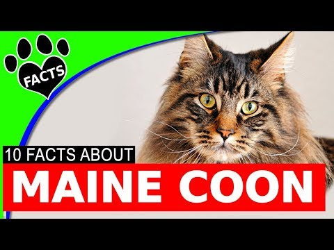 Cats 101: Large Maine Coon Cat Facts Most Popular Cat Breeds - Animal Facts