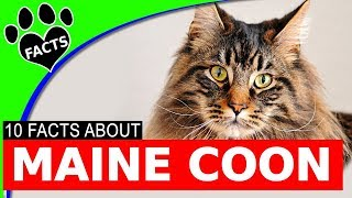 Top 10 Maine Coon Cat Facts Cats 101