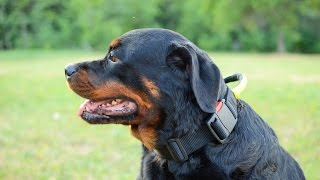 Rottweiler Wears Nylon Dog Collar With Handle And Quick Release Buckle