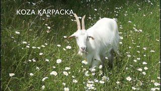 Koza Karpacka