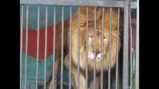 Лев чихает))) Зоопарк в Саратове 09.07.16г.