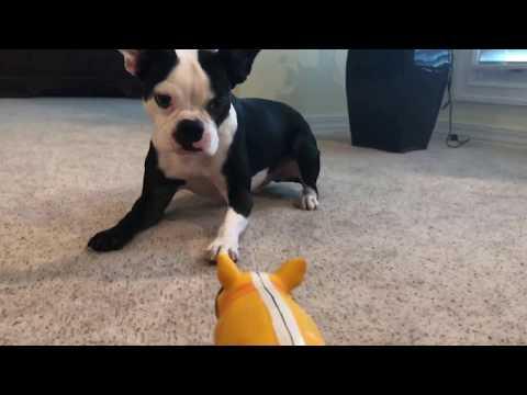 Boston Terrier hates new toy