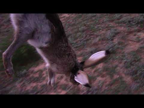 Texas Rabbit Hunt - Viewer Discretion Advised
