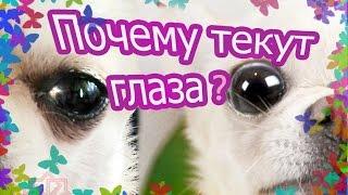 Почему у собак текут глаза?