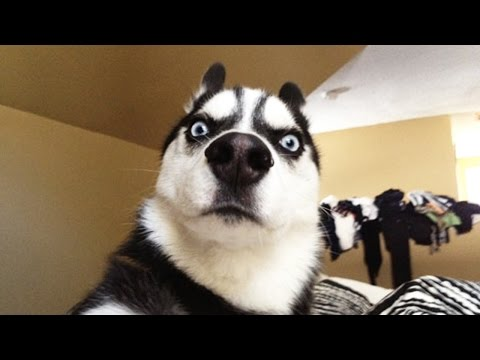 Download Youtube: Funny HUSKY ★ HUSKIES ARE TOO CUTE! [Funny Pets]