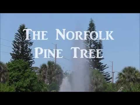 The Norfolk Pine - An Incredible Specimen Tree For Tropical Climates