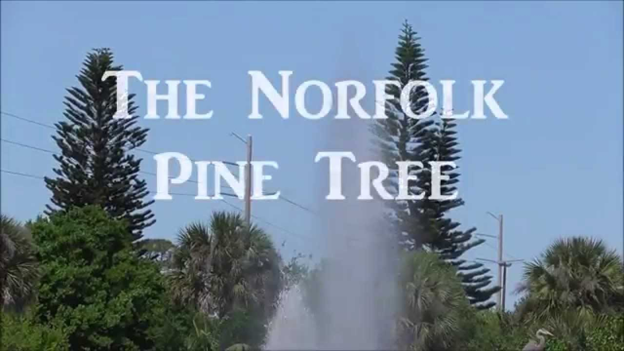 The Norfolk Pine - An Incredible Specimen Tree For Tropical Climates ...