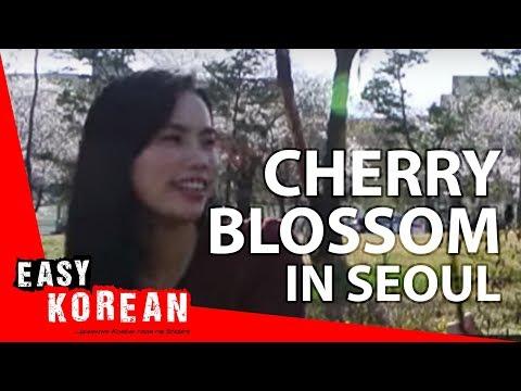 Cherry blossom in Seoul   Easy Korean 9