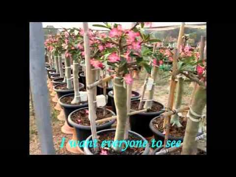 new style adenium thai socotranum (King Crown)