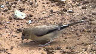 00000 Silverbill foraging, Muthur, Chikballapur Distt, 011113