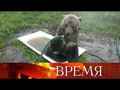 В Калужской области живет спасенный летчиками авиамедведь Мансур Орловский.