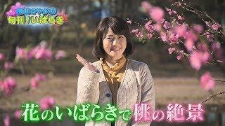 磯山さやかの旬刊!いばらき『古河桃まつり』(平成30年3月16日放送) 磯山さやか 検索動画 6