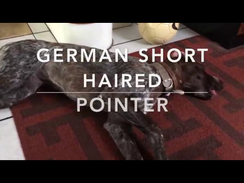 German Short Haired Pointer (quick look)