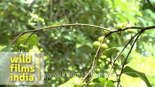 Flacourtia inermis plantation : one can make wine from batoko plum!