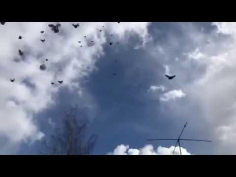 Голуби у Виктора-41 (Питомник Западный ) 8-906-727-22-43