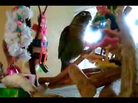 Green Cheek Conure( Pyrrhura molinae) Playground
