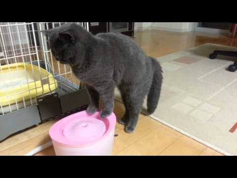 British Shorthair Cat drinks water.