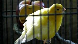 My female canary singing! Yes she is female! (she laid eggs)