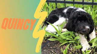 Best Dog Training in Chicago! 8 Month Old Portuguese Water Dog, Quincy!