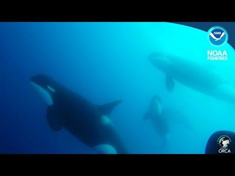 Type D Killer Whales - Underwater Shots