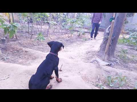 Training a 3 months old Doberman puppy    Doberman lovers
