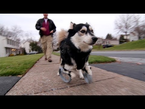 Dog Runs Thanks To 3D Printed Prosthetics
