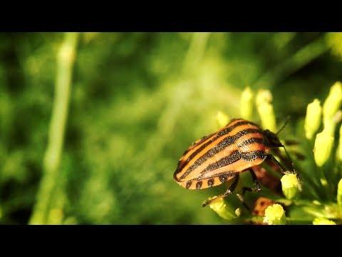 Щитник Линейчатый. Описание. Питание. Размножение. Как избавиться. Оранжево-черный полосатый жук.