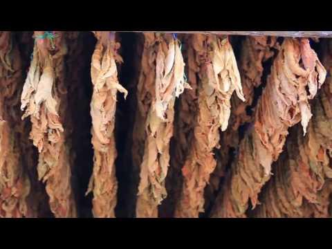 Tütün, Üretimi