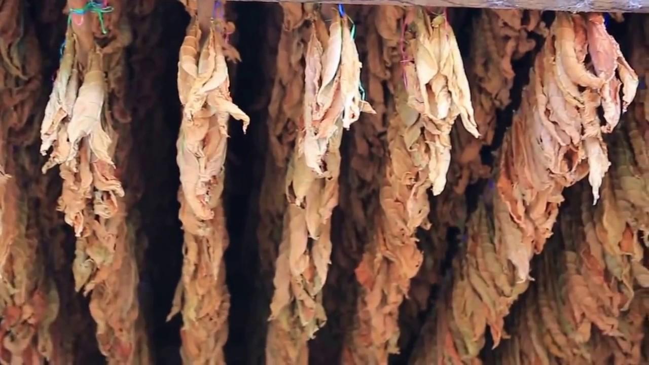 Download Tütün, Üretimi