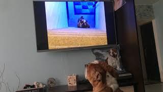 Английский бульдог смотрит видео про смешную собаку