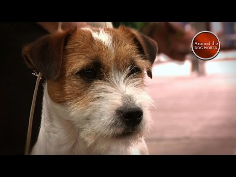 Around the Dog World - Lets talk Terriers - National Terrier Teaser