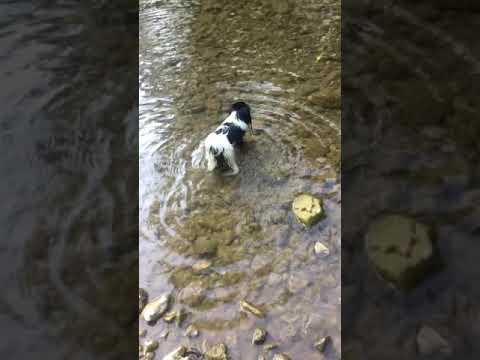 Japanese chin on the river/Japanese chin dog  /Japanski chin