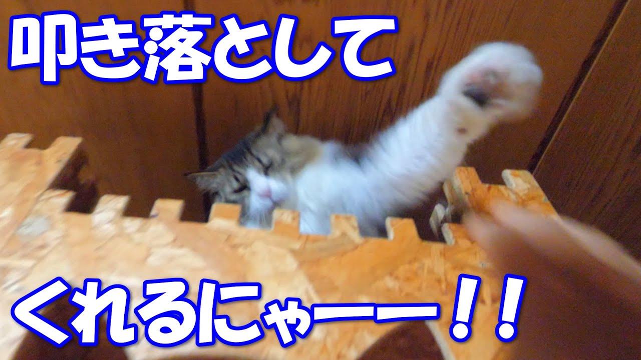 城に侵入しようとする者はたとえ飼い主だろうが容赦なく叩き落す巨猫のボス吉!