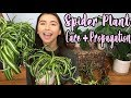 How To Take Care of A Spider Plant + Propagating Spider Plant Pups