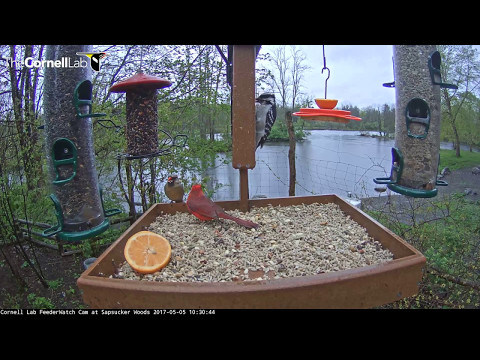 Male Northern Cardinal Feeds Female on Cornell Feeders – May 5, 2017