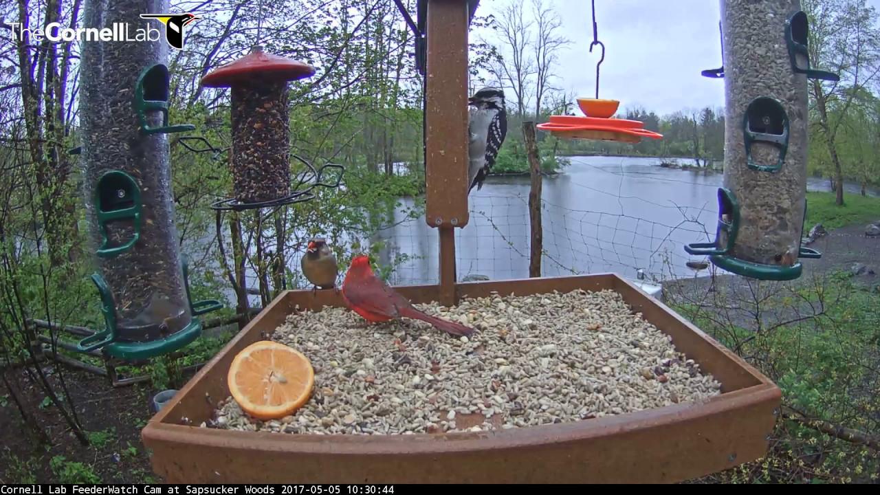 male northern cardinal feeds female on cornell feeders u2013 may 5