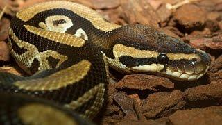 Выбираем первую змею