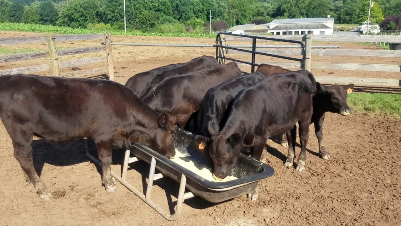 Feeding The Black Angus Cows And Feeder Calves Youtube