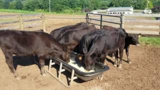 Feeding the Black Angus cows and feeder calves