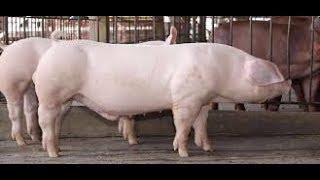 видео: Цена на свинину. Супер премикс. Поросята со свинокомплекса.