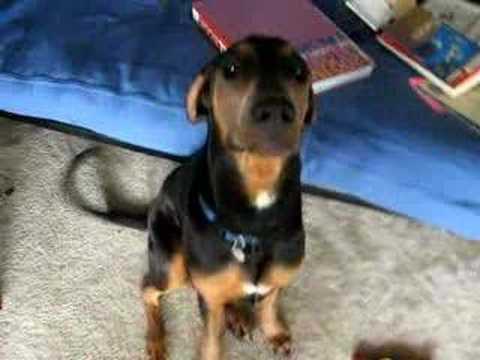doberman-puppy-broke-his-toy---so-cute