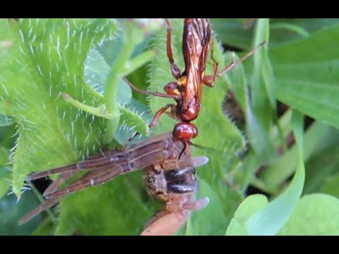 Jewel Wasp vs. BIG Spider - 720p HD