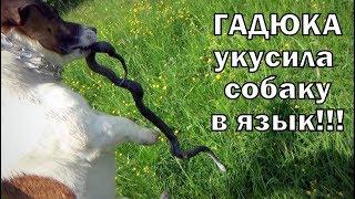 Гадюка укусила собаку в язык Вот что стало с собакой и гадюкой