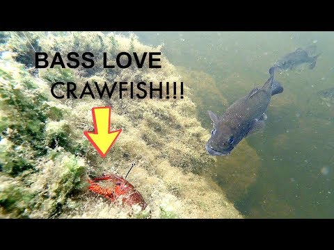 Bass Love Crawfish! | Underwater Footage