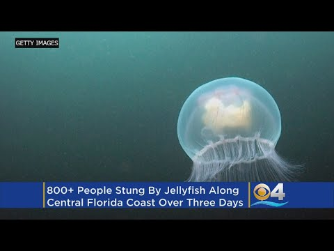 More Than 800 Stung By Jellyfish Along Florida Beaches In Three Days