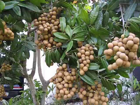 Can we grow LONGAN fruit tree in Central Florida? YOU MUST SEE