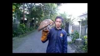 Barn Owl Training, Cara melatih burung hantu