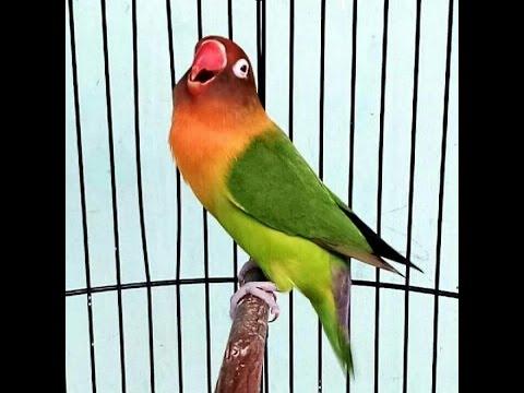 Burung Love Bird jawara Cerewet Ngekek Panjang !!!Pemancing Love Bird